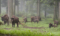 Wisent im Nationalpark Bayerischer Wald